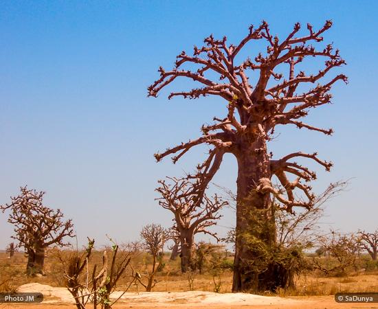 Baobab du Sénégal de SaDunya