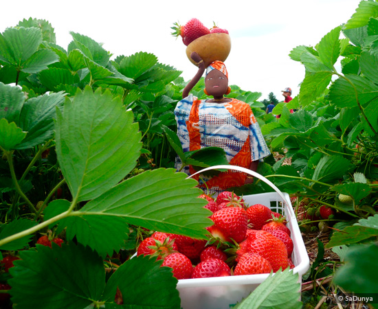 Fatoumata picking Strawberries at Fruition Berry Farm - 14/16