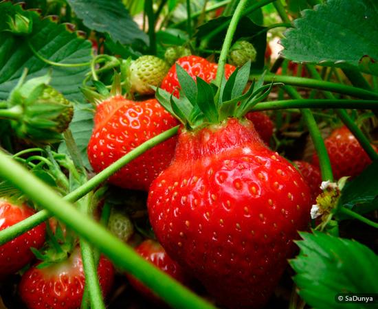 Fatoumata au pays des fraises sadunya - Comment cueillir des fraises ...