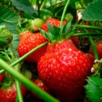 Fatoumata au pays des fraises