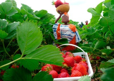 Strawberry-Picking-2-14
